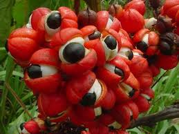 Guarana Contains Over 10X the Amount of the Key Antioxidant ...
